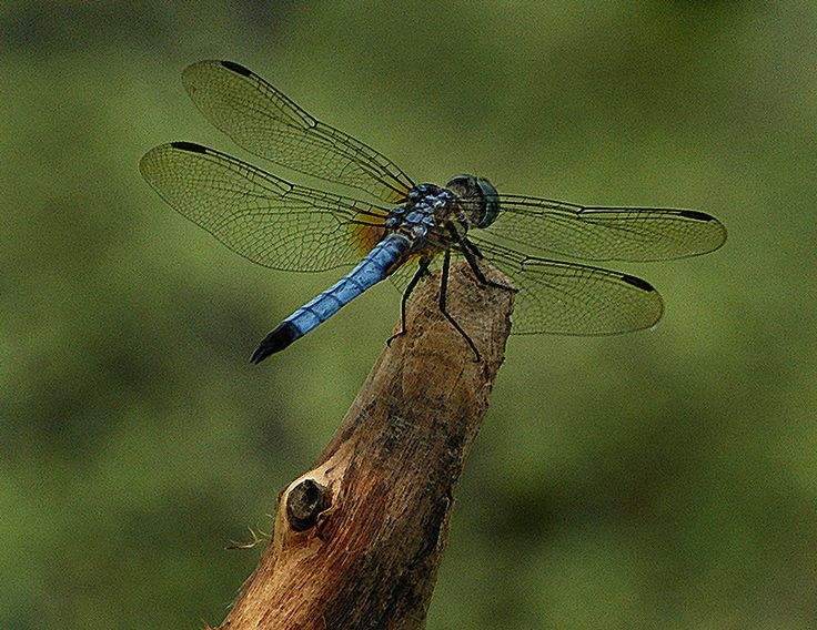 Dragonflies are known as heavenly messengers.  Yesterday i stuck out my finger to one approaching me in the pool and he landed and stayed on my finger for a very long time.  PTL