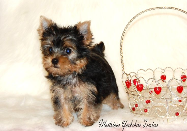 Yorkshire Terrier Puppies | Yorkshire Terrier Puppies For Sale in Illinois | Yorkie breeder In ...