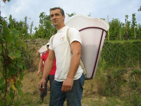 Franck Balthazar in full harvest in his Mazards plot #rhone #wine #northernrhone #cornas