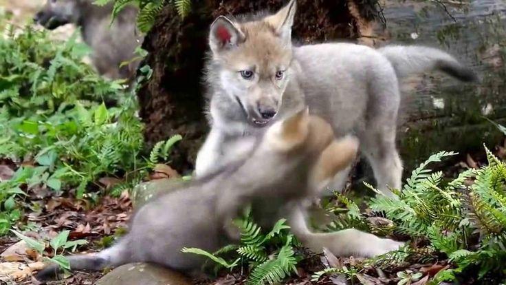 Маленькие #волки играют! Little #Wolves play!