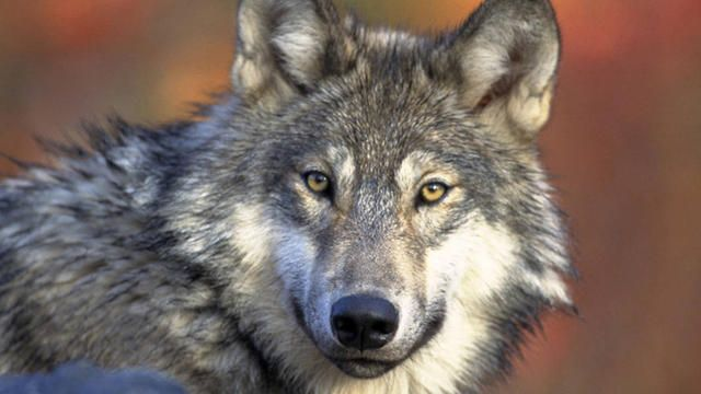 Federal court puts gray wolf back on endangered species list in Great Lakes region - CBS News