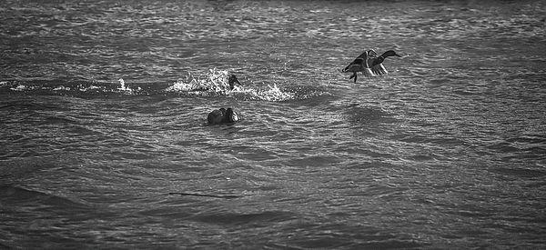 Male mallard ducks fighting in the water