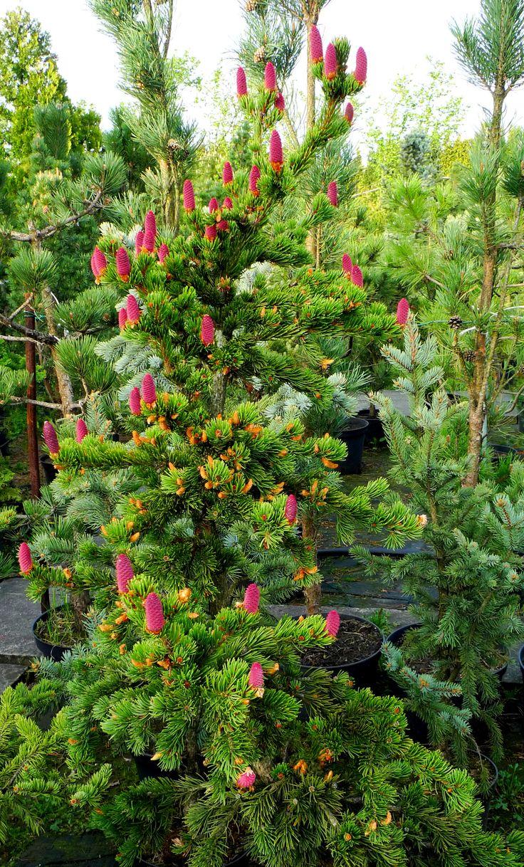 Picea sp. Gargul Gaj Gartex