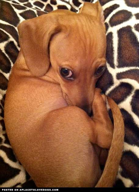 What a cute little doxie!