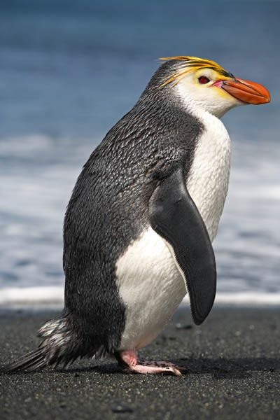 The Vulnerable Royal Penguin (Eudyptes schlegeli) is only found on Macquarie Island and adjacent islands. -kc