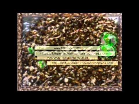 Bibit Gaharu (aquilaria malaccensis)anakan,biji paser/ tana paser 081251...