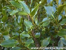 New Zealand native plants -