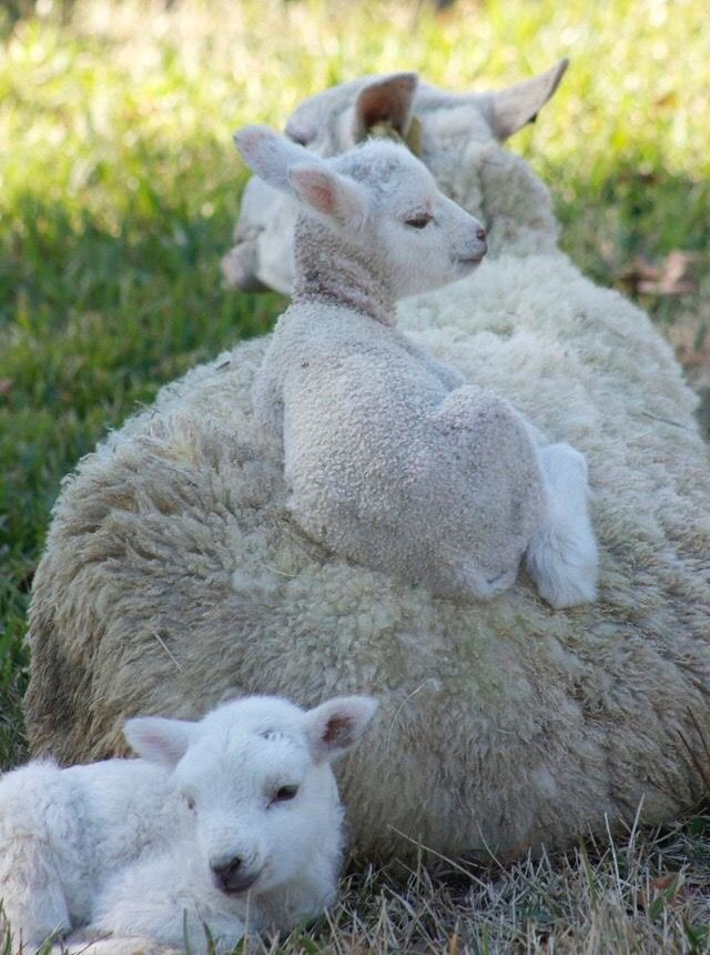 Pin By Chris Fuller On Sheep With Images Baby Animals Cute