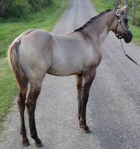 """Look at those """"zebra stripes"""" (also known as leg barring)! Quarter Horse Mare For Sale in Ohio"""