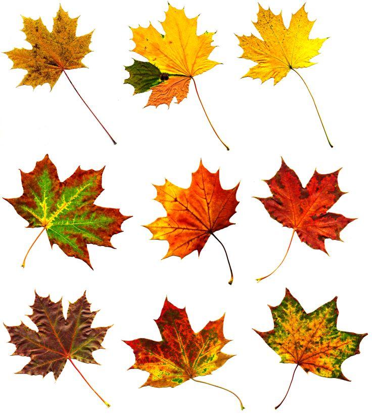 Big collection  autumnal maple leaf                              …