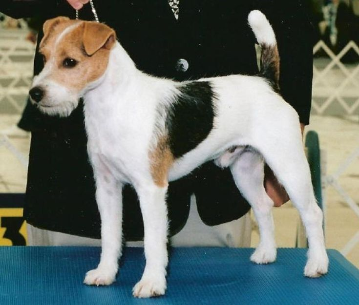Parson Russell Terrier Show dog once called the Jack Russell Terrier