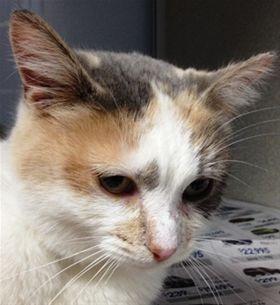 Annie, DSH, 2 years, Female  - Find me on pawschicago.org!