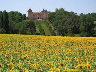 Sunflowers in the Gers.