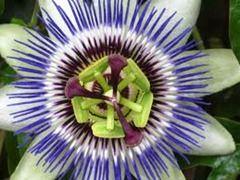 Cure e rimedi naturali: La Passiflora ha proprietà ansiolitiche