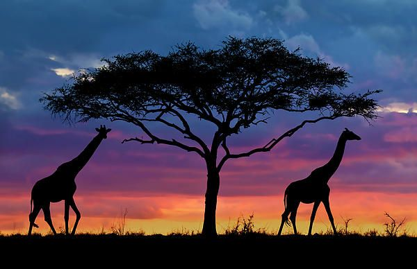Serengeti - beautiful wildlife, sunsets and scenery. Home to giraffes, lions, elephants, rhinos, hippos, wildebeests, flamingoes, zebras and many more