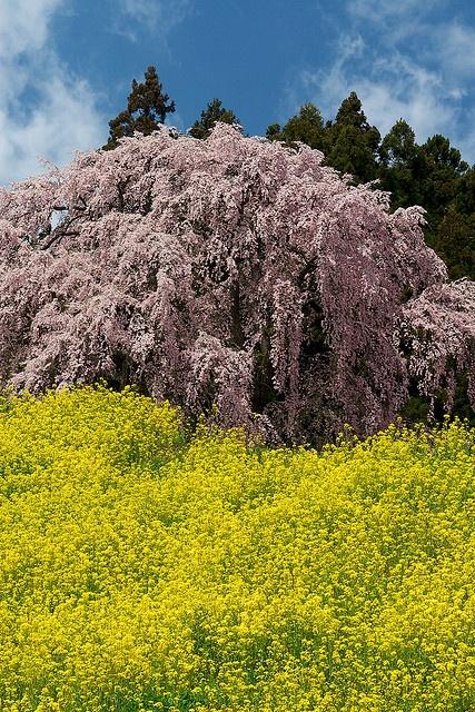 Cherry tree in full bloom, Nihonmatsu, Fukushima, Japan