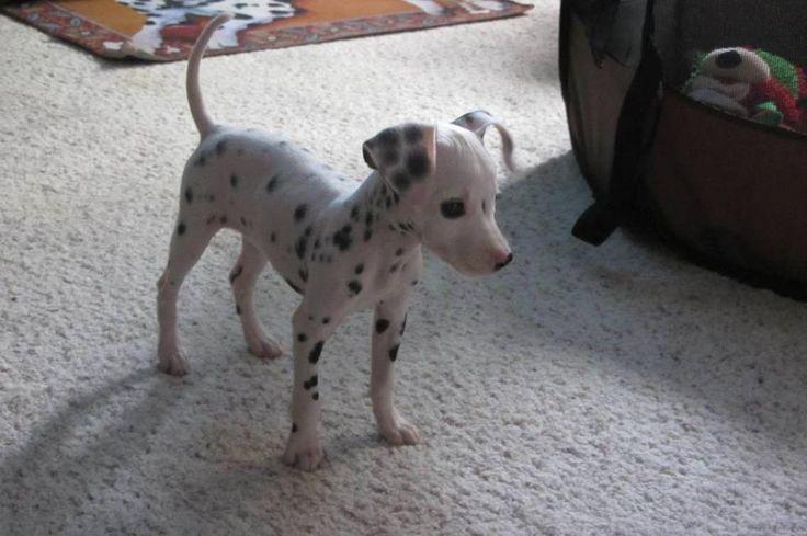 Pixel the miniature dalmatian.  How cute.