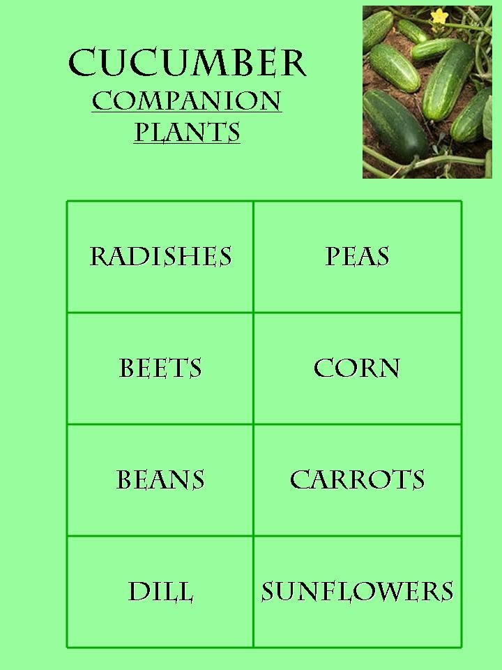 These cucumber companion plants consist of:  Radishes, Peas, Beets, Corn, Beans, Carrots, Dill, and Sunflowers.    However, you should not plant your cucumbers near potatoes or sage as they tend to grow poorly when planted next to these plants.