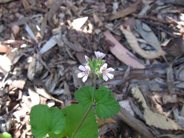Native geranium - Pelargonium australe. Knox Environment Society