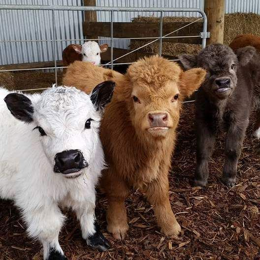 They're miniature cows, y'all. MINIATURE COWS! And, you can milk them and make DIY yogurt and miniature Polly Pocket cheeses!!! Mark, honey?