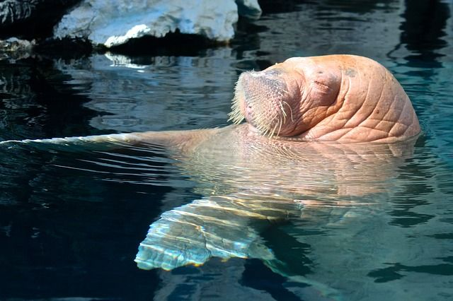 Summer is high time to take swimming lessons!  #walrus #Arctic #sea #trip #swimming