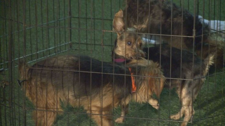 Now they're rescued and need forever homes in the Phoenix area, but it's going to take a few weeks to get them ready for adoption from the Arizona Animal Welfare League.