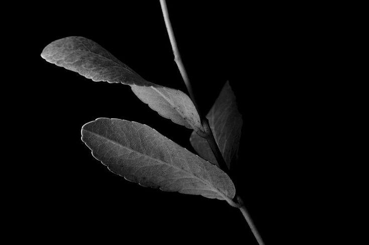 leaf-in-black-and-white-james-vancek.jpg (900×599)