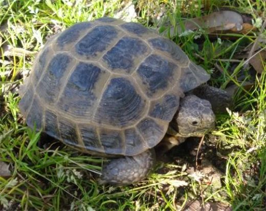 Common Health Problems With Russian Tortoises | PetHelpful