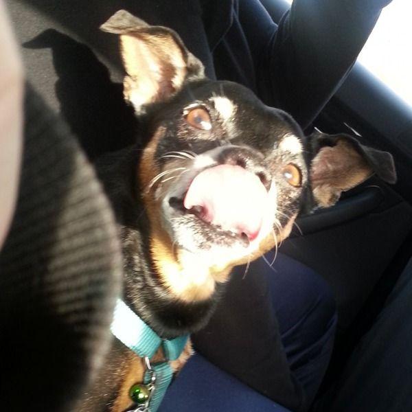 Miniature Pinscher Billy Koennt ihr auch mit eurer Zunge eure Nase abschlecken? ☺ #Hund: Billy / #Rasse: Miniature Pinscher      Mehr Fotos: https://magazin.dogs-2-love.com/foto/miniature-pinscher-billy-2/ Foto, Hund, Rasse