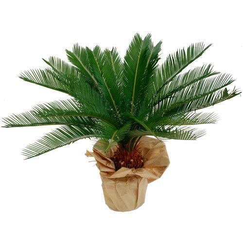 17 meilleures id es propos de palmier cycas sur for Arrosage plante hiver