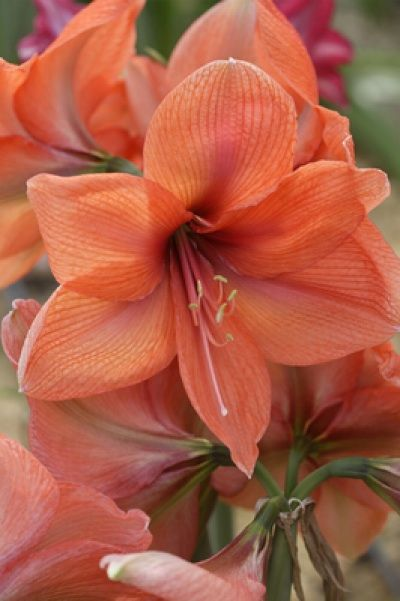 How to Get Amaryllis Flowers to Rebloom From Year To Year