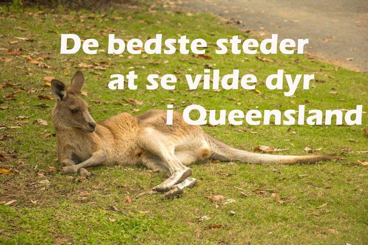 Er du vild med dyr? Så har jeg samlet de bedste steder at se vilde dyr i Queensland. Så skal du nok få set en vild koala, kænguru, wallabies, dingoer m.m.