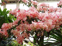 Rózsaszín virágú azálea