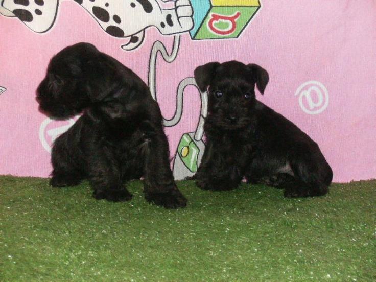 Fotos de  schnauzer mini machos e fêmeas  pretos c/ pedigree facilito o pagamento em até 18 vezes