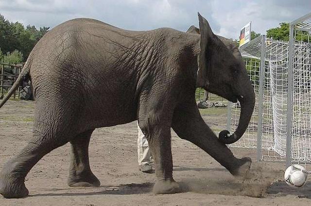 La elefanta Citta predijo que Alemania estará en la final de la Eurocopa