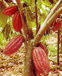 Cacao, Cacaotero