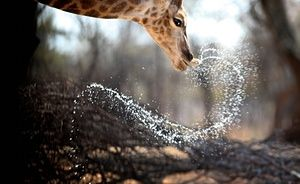 A giraffe drinks at a watering hole at Melorani Safaris at Olifantsvallei, South Africa