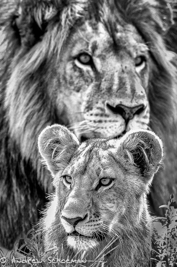A stunning father-&-son (or leader-&-young!) shot by http://www.andrewschoemanphotography.com/  #bw #wildlife #lion #safari #lionweek