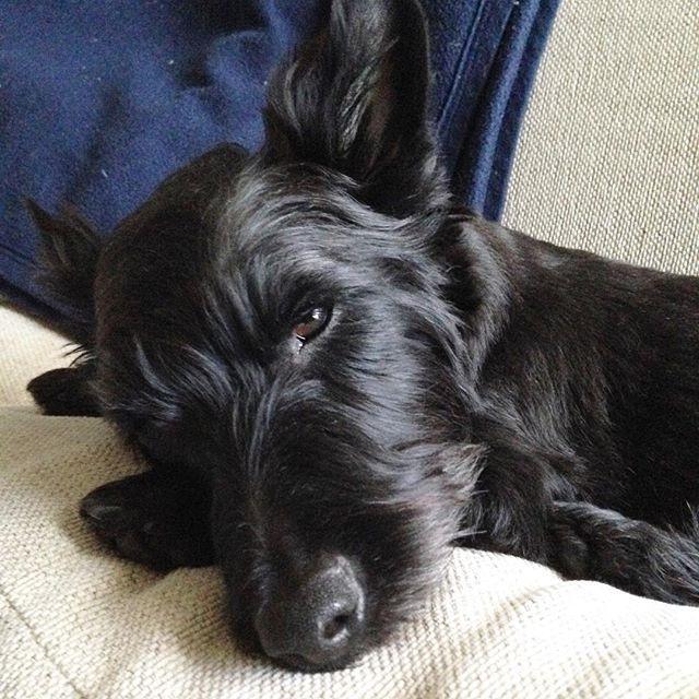 あけましておめでとうございます🎍今年もよろしくお願いします٩( ᐛ )و dogstagram scotchterrier  scottishterrier scottish scotchscotchlover blackdog