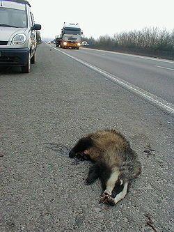 La collision avec un véhicule est l'une des premières cause de mortalité du blaireau européen en Europe de l'Ouest