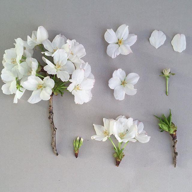 P R U N U S . 'Tai Haku' deconstructed. #botanicalstudy #botanicaldeconstruction #prunus #cherryblossom #sakura #spring #whitecherryblossom #prunus #prunustaihaku