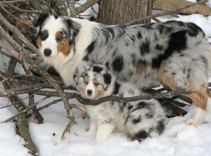 The 25+ best Australian shepherd husky ideas on Pinterest ...