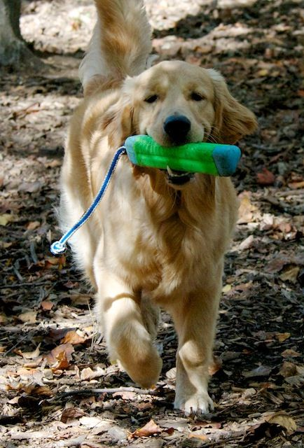 Golden Retriever Puppy Retrieving