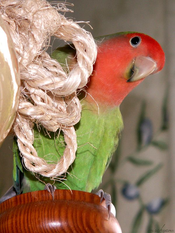 Are you talking to me ???    This is Bosse my crazy bird. Lovebird
