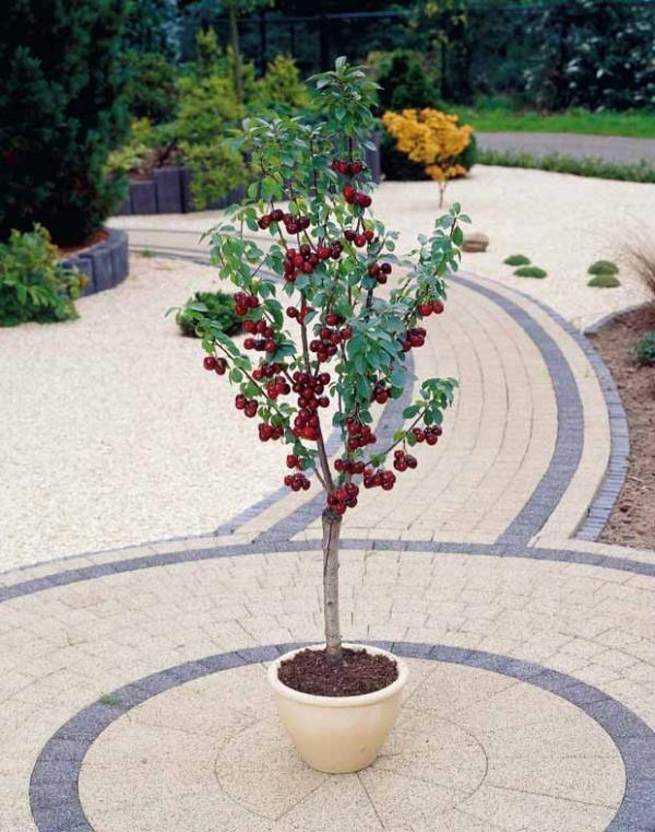 7 melhores imagens de pomar em vasos no pinterest for Cerisier nain garden bing
