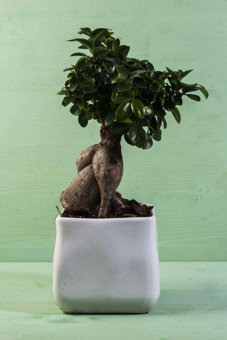 REGOLE DI MASSIMA per il #bonsai:  I bonsai da interno vanno sempre posizionati in un luogo luminoso, ma non possono ricevere la luce diretta. Annaffiali quando il terreno è asciutto e controlla il ciclo di concimazione.