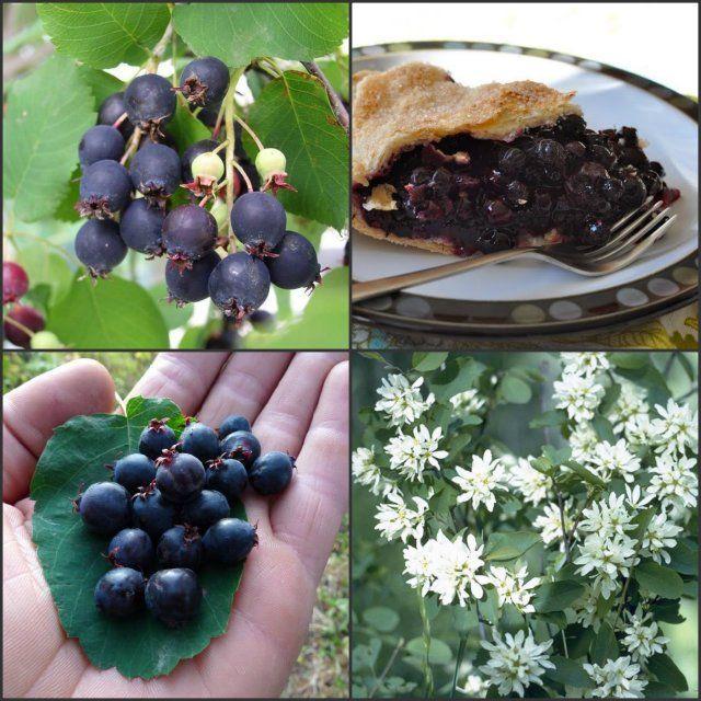 Sjeme voća : MONGOLSKA BOROVNICA / Amelanchier alnifolia