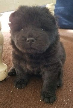 Litter Of 5 Chow Chow Puppies For Sale In Leland Nc Adn 53431 On