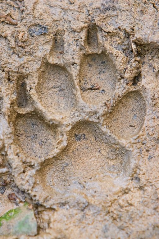 Mountain Lion tracks - Bing Images