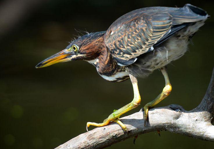 green-heron-juvenile